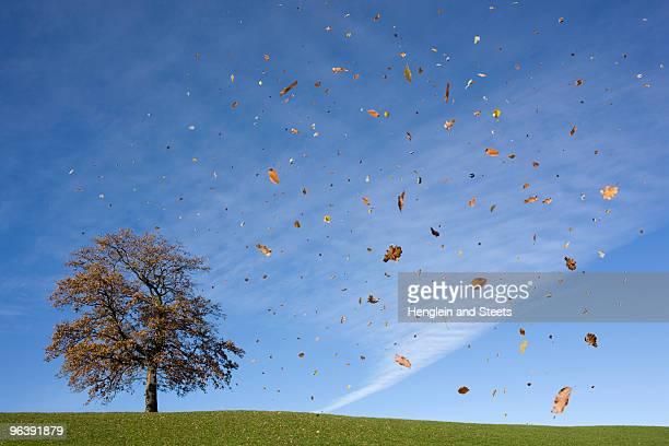 oak tree on hill, falling leaves, autumn