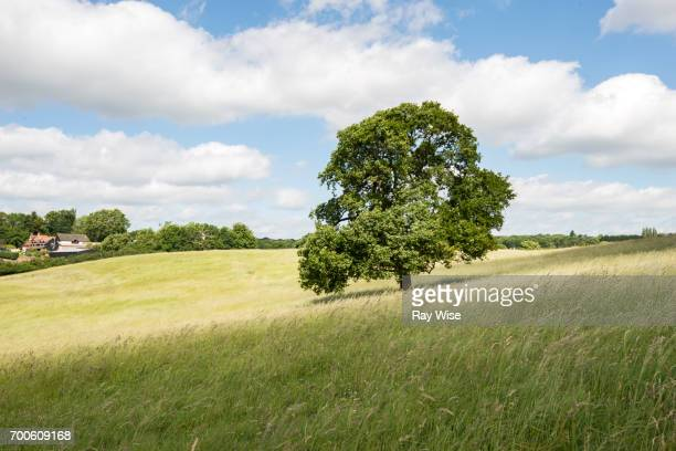 Oak tree on hill in Epping forest.