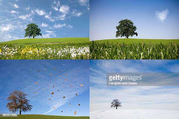 oak tree on hill in four seasons - jahreszeit stock-fotos und bilder