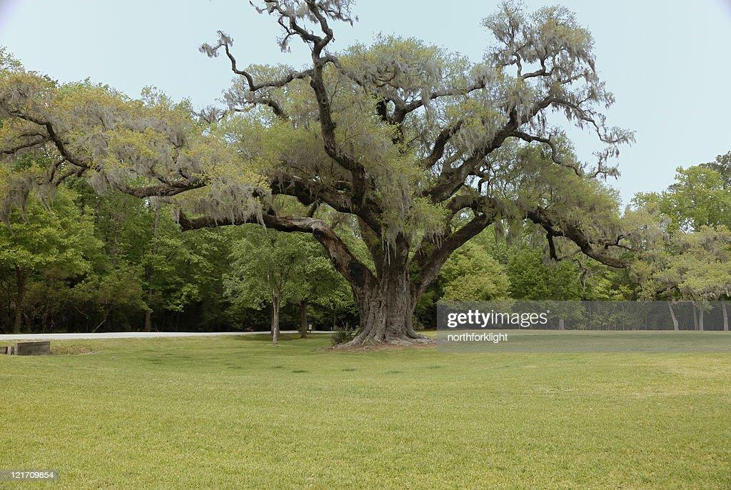 Plantación Oak tree en el sur : Foto de stock