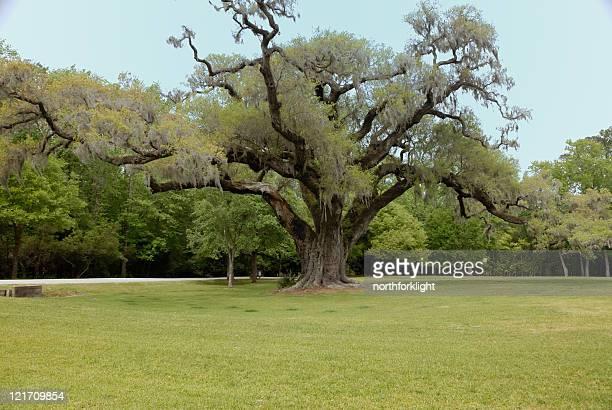 plantación oak tree en el sur - musgo español fotografías e imágenes de stock