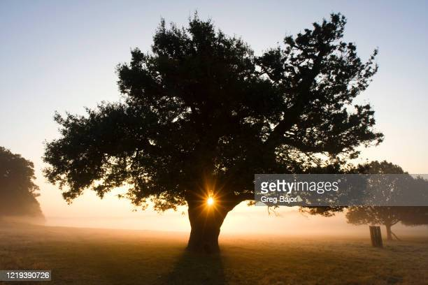 oak tree - greg bajor stock pictures, royalty-free photos & images