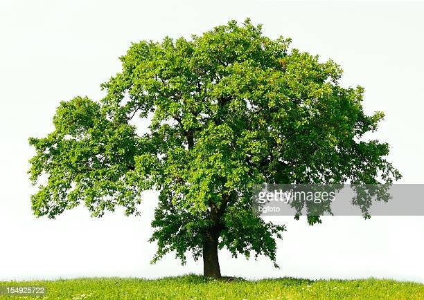 oak tree - oak tree stock pictures, royalty-free photos & images