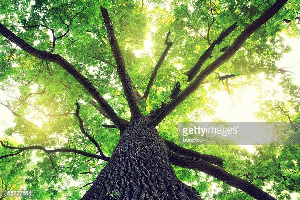 oak tree - treetop stock pictures, royalty-free photos & images