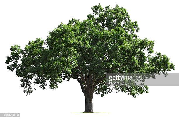 oak tree - tree stock pictures, royalty-free photos & images