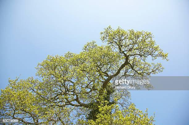 oak tree (quercus robur) - richard drury stock pictures, royalty-free photos & images