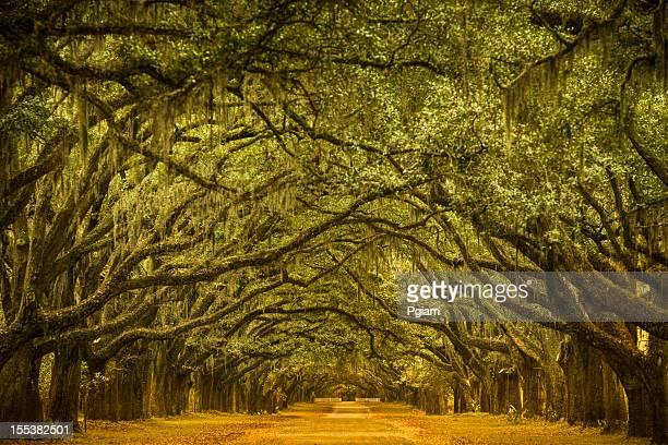 oak tree road caminho através da floresta - sul dos estados unidos - fotografias e filmes do acervo
