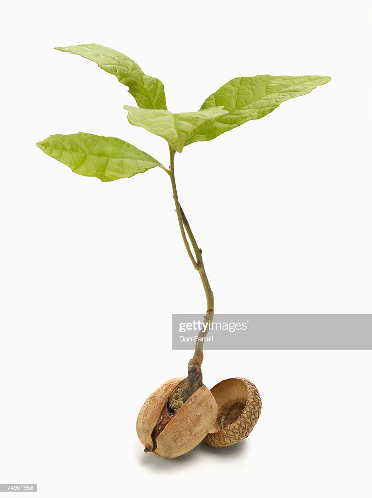 Oak tree sapling (Quercus Robor) and acorn : Stock Photo
