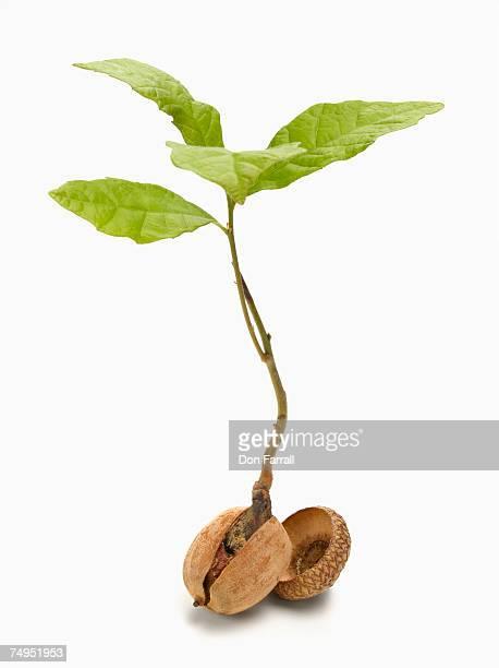 oak tree sapling (quercus robor) and acorn - pflanzensamen stock-fotos und bilder