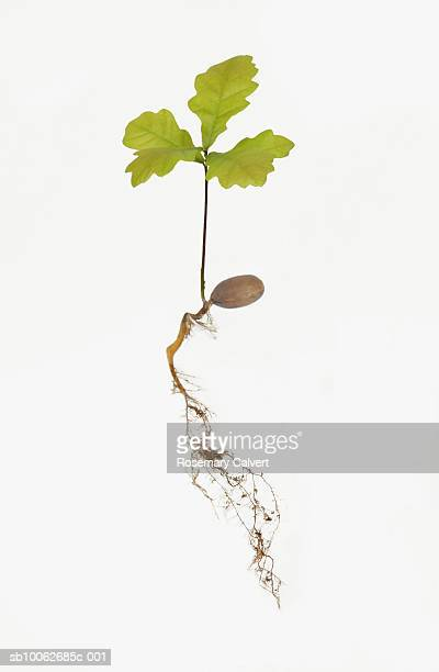 Oak tree sapling and roots on white background