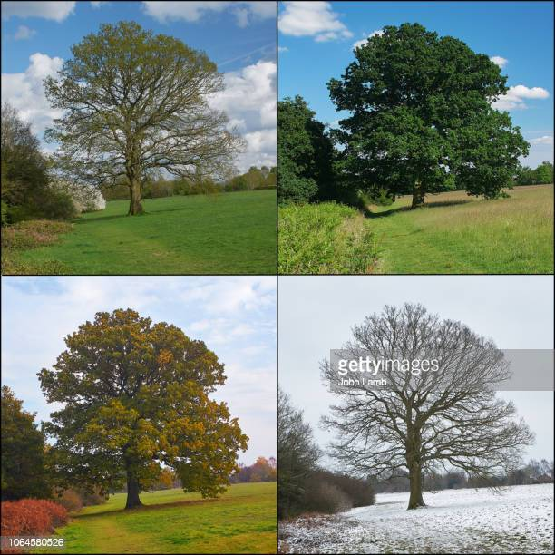 oak tree through the seasons. square format. - bare tree stock pictures, royalty-free photos & images