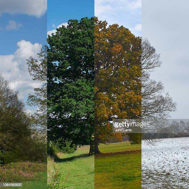 oak tree through the seasons. square format. - season stock pictures, royalty-free photos & images