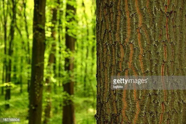 Chêne Tree