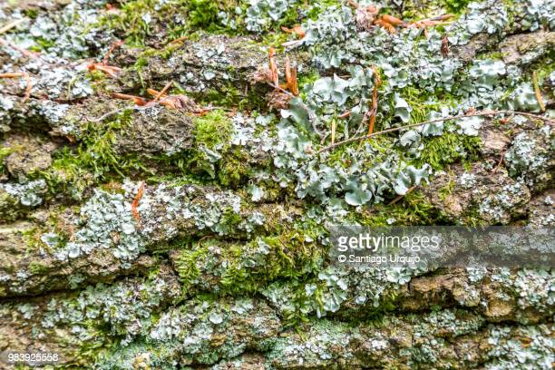 oak tree trunk covered with moss and lichen - mousse végétale photos et images de collection