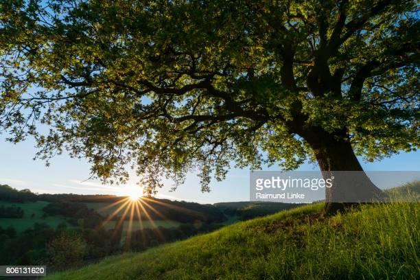 Oak tree with landscape at sunrise in spring, Odenwald, Hesse, Germany