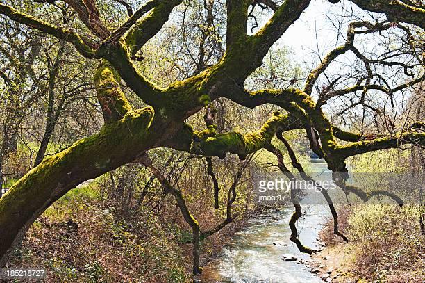 Oak Tree with Moss over Creek