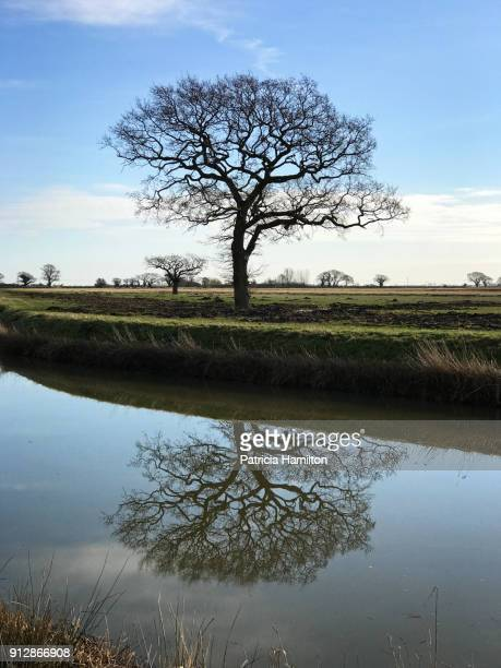 oak tree with reflection in the royal military canal - bare tree stock pictures, royalty-free photos & images