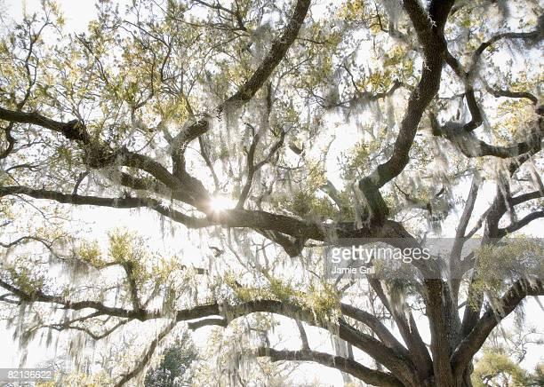 oak tree with spanish moss, new orleans, louisiana, united states - musgo español fotografías e imágenes de stock