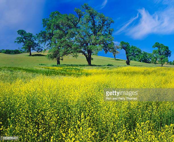 Oak Trees And Mustard Plants