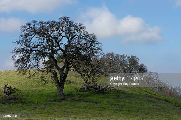 Oak trees at Stanford University