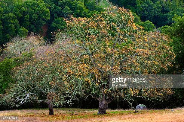 oak trees, california, usa - don smith stock pictures, royalty-free photos & images