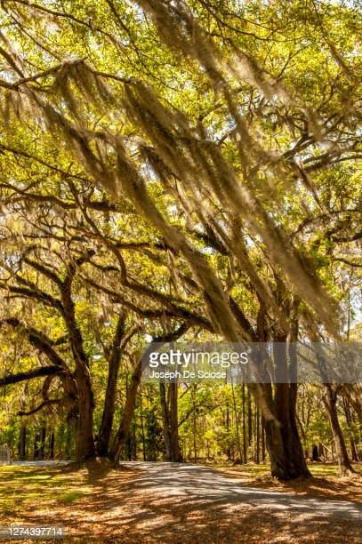 oak trees covered in spanish moss (tillandsia usneoides), wadmalaw island, south carolina, usa - south carolina stock pictures, royalty-free photos & images