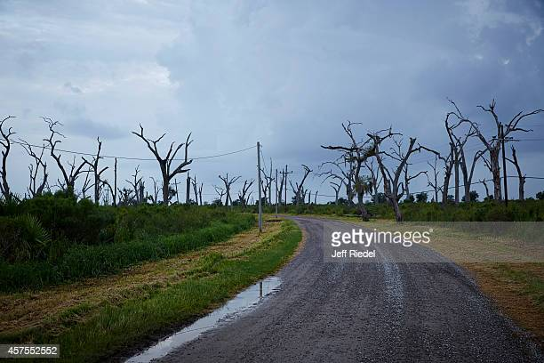 Oak trees damaged by saltwater intrusion along Lake Hermitage Road is photographed for New York Times Magazine on August 30 2014 in Southeastern...