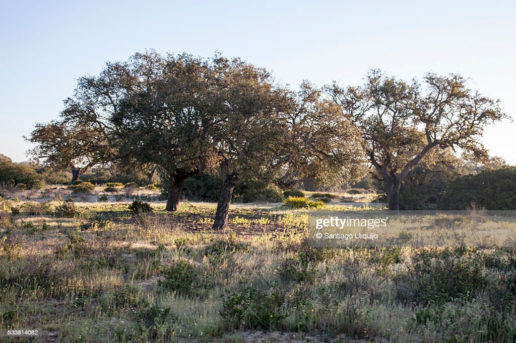 Oak trees in Doñana National Park : Foto stock