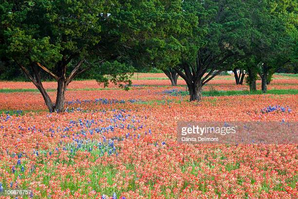oak trees in field of indian paintbrush(castilleja foliolosa) and texas blue bonnets(lupinus texensis), texas, usa, north america - texas bluebonnet stock pictures, royalty-free photos & images