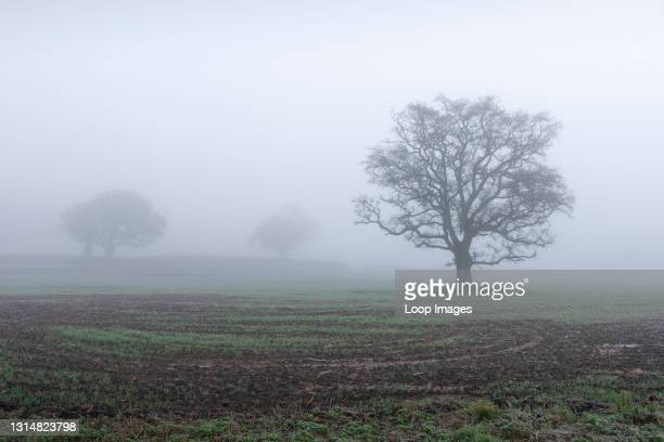 Oak trees in the misty English countryside in late autumn.