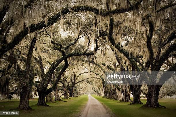 oak trees lining road on plantation - musgo español fotografías e imágenes de stock