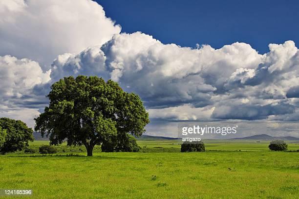 oak trees - caceres stock-fotos und bilder