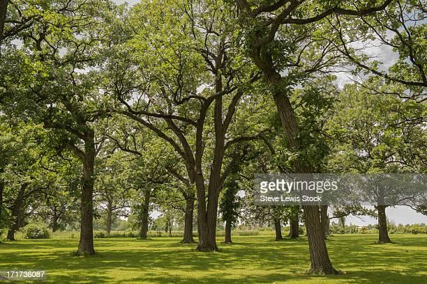 Oak Trees,
