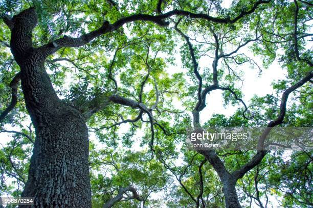 oak trees, saint petersburg, florida, driftwood neighborhood - live oak tree stock pictures, royalty-free photos & images