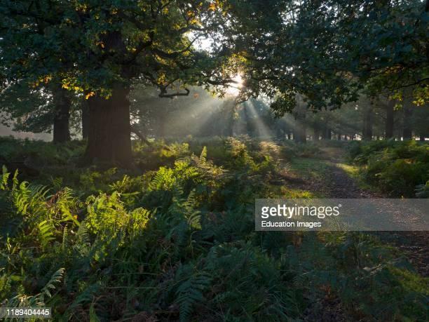 Oak woodland in autumn Richomond Park London.