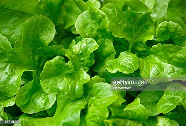 Oakleaf lettuce, full frame