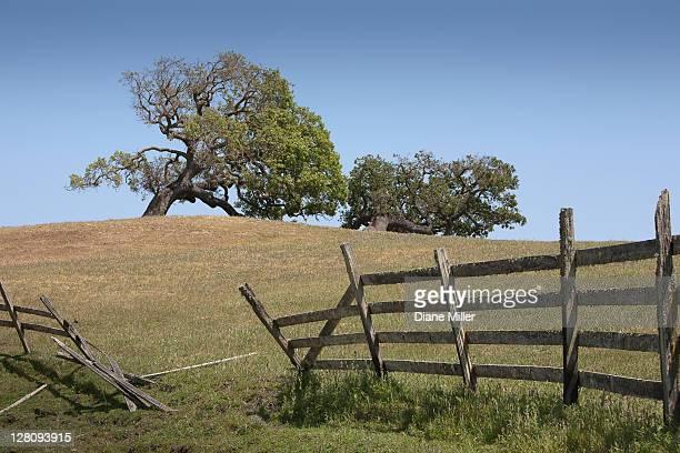 Oaks near Petaluma, CA