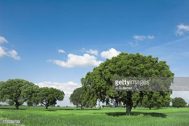 oaks - live oak tree stock pictures, royalty-free photos & images