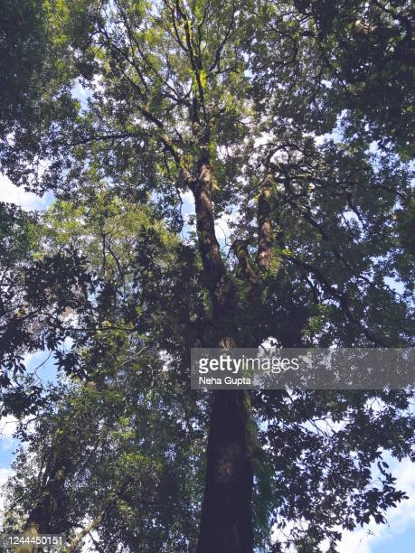 oaktree. canopy. - neha gupta stock pictures, royalty-free photos & images