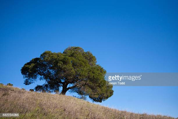 Oaktree on yellow grassy hill with clear blue sky