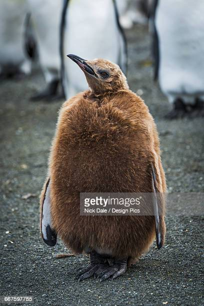 oakum boy king penguin (aptenodytes patagonicus) looking at camera - young hairy pics stock photos and pictures