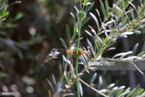Oasis Hummingbird Azapa Valley Arica Parinacota Region Chile