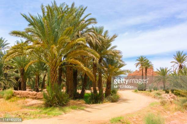 oasis in bouzeroual, morocco - date palm tree stock pictures, royalty-free photos & images