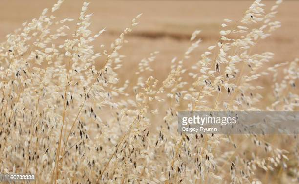 oat plants in a field as a background - beige stock-fotos und bilder