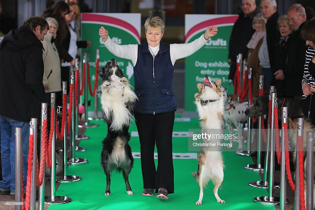 Obedience trainer Mary Ray and her Border Collies Levi (L) and Lyric arrive in style at Crufts along the green carpet during a photocall to launch Crufts 2015 on March 4, 2015 in Birmingham, England. The famous green carpet was laid out 'Oscars' style to welcome VIP dogs to this year's four-day competition. Thousands of dogs and their owners will vie for a variety of accolades but ultimately seeking the coveted 'Best In Show' during this year's competition between the 5th and 8th March.