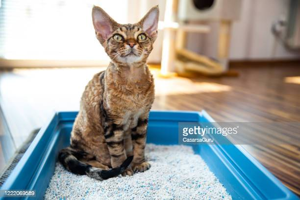 obedient devon rex cat sitting in litter box in living room - stock photo - young animal stock pictures, royalty-free photos & images