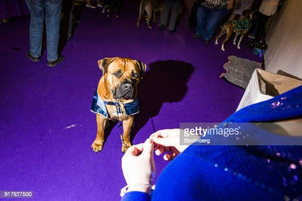 Oblio a Boerboel sits backstage at the 142nd Westminster Kennel Club Dog Show in New York US on Tuesday Feb 13 2018 The Westminster Kennel Club Dog...