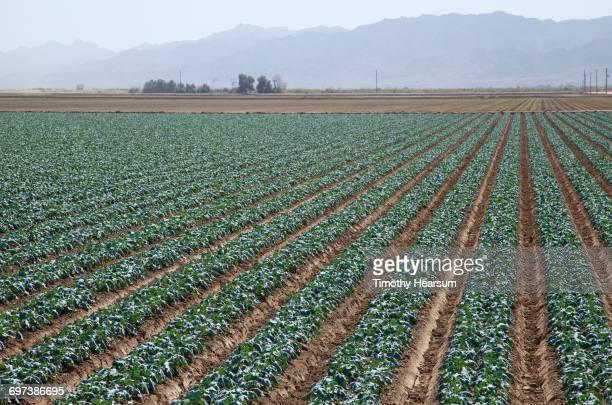 oblique rows of mid-growth broccoli plants - timothy hearsum stock-fotos und bilder
