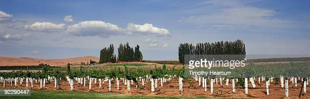 oblique rows of wine grapes with white sleeves - timothy hearsum stock photos and pictures