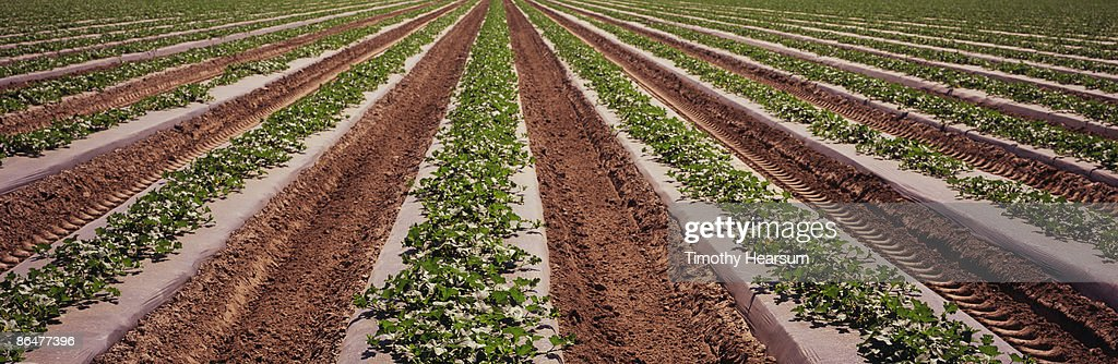 Oblique rows of young cantaloupe plants : Stock Photo